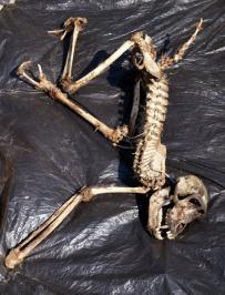 Jojo_Skeleton.jpg