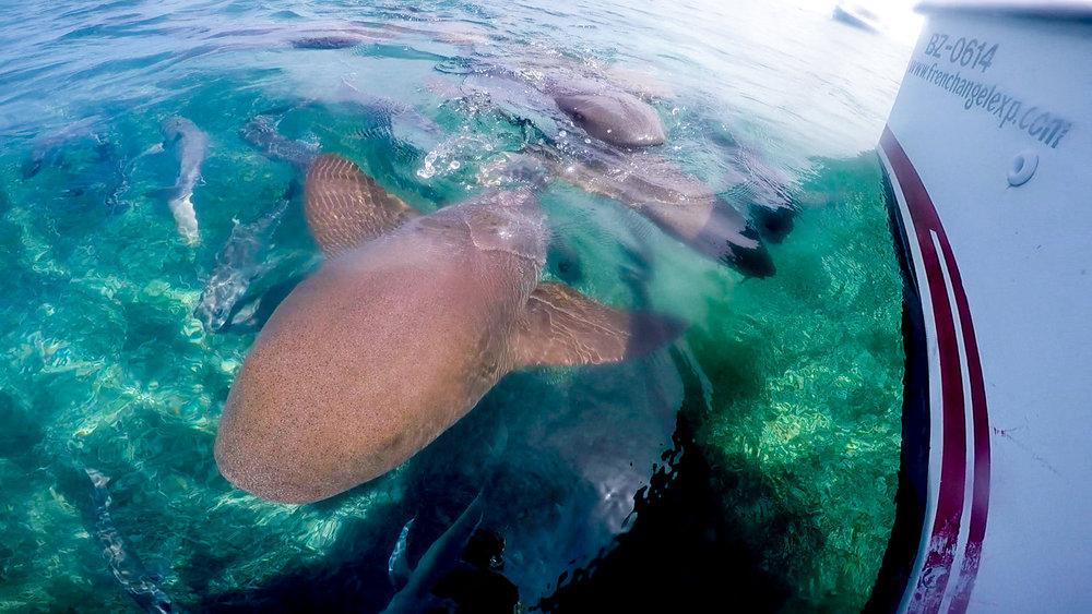 Snorkling Caye Caulker shark-2.jpg