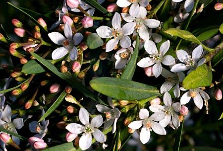 Eriostemon myoporoides