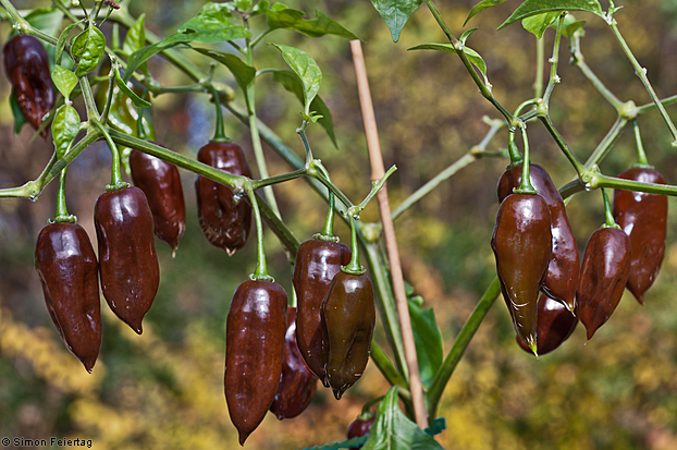 Aji-Brown-Picante-5.jpg