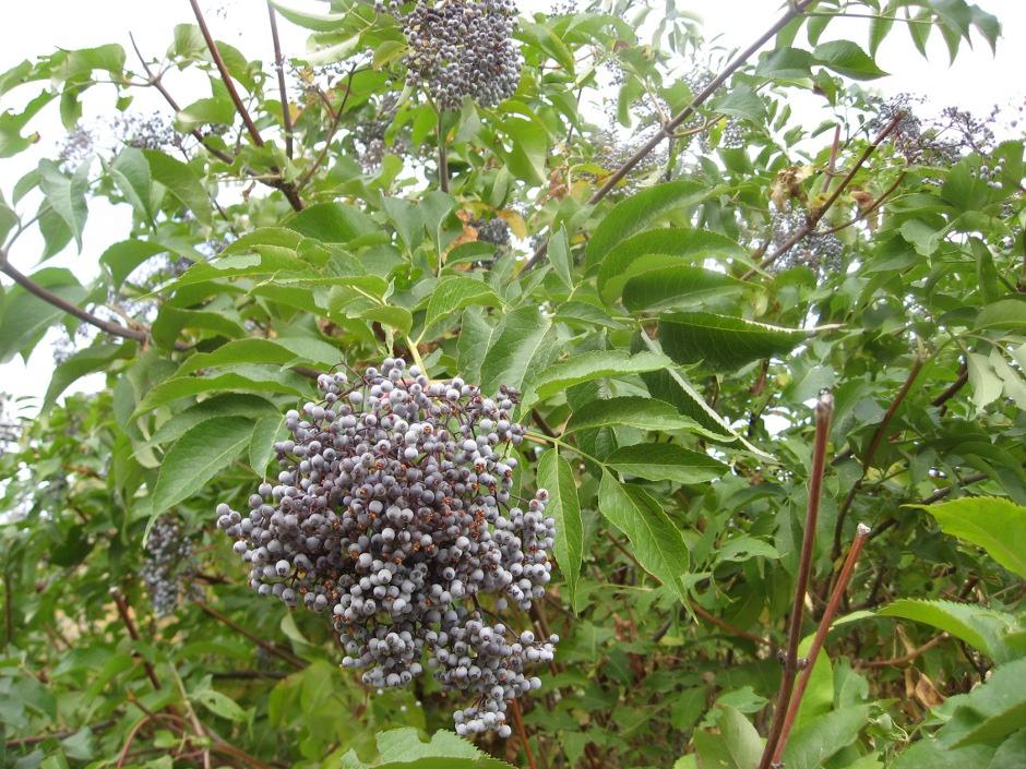 Wild-Elderberry.jpg