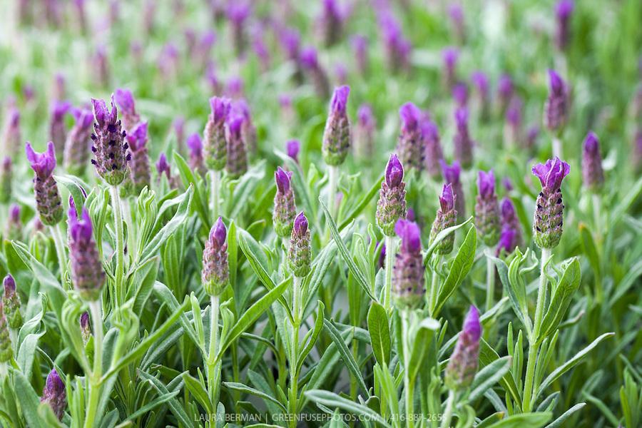 Lavender-LB1105-0042.jpg