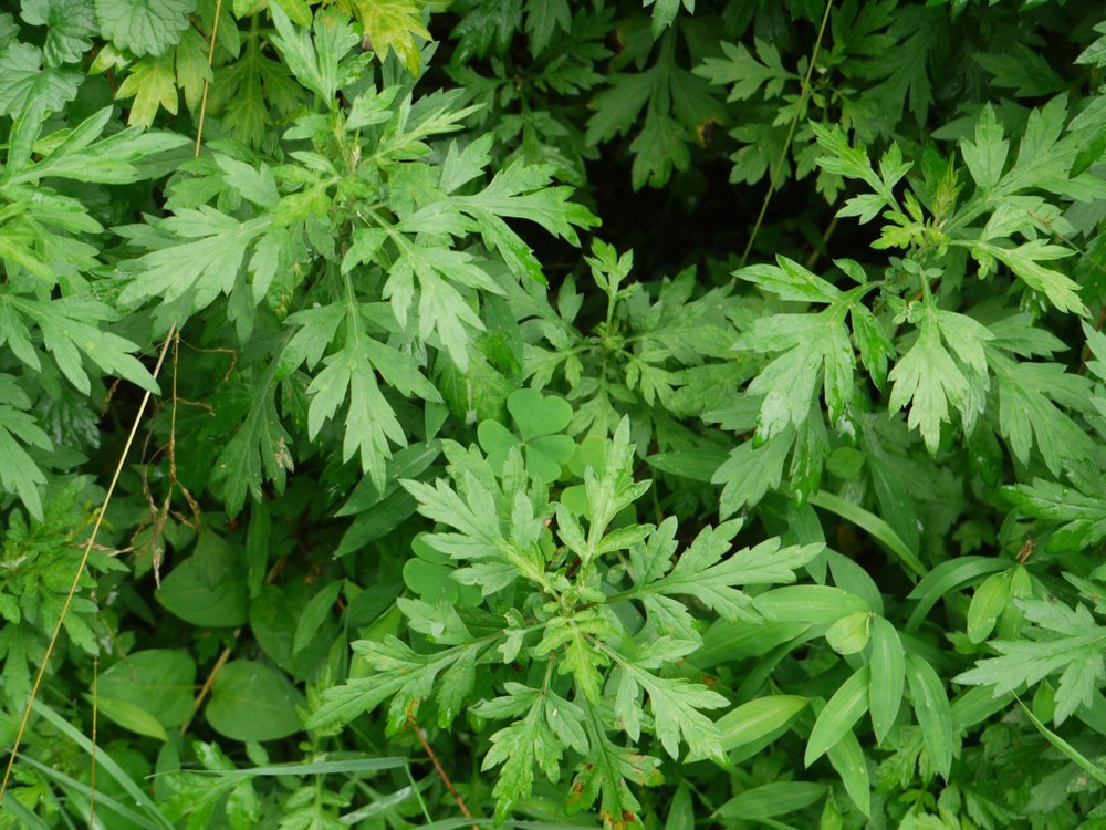 100613-Mugwort-closer-1024x768.jpg