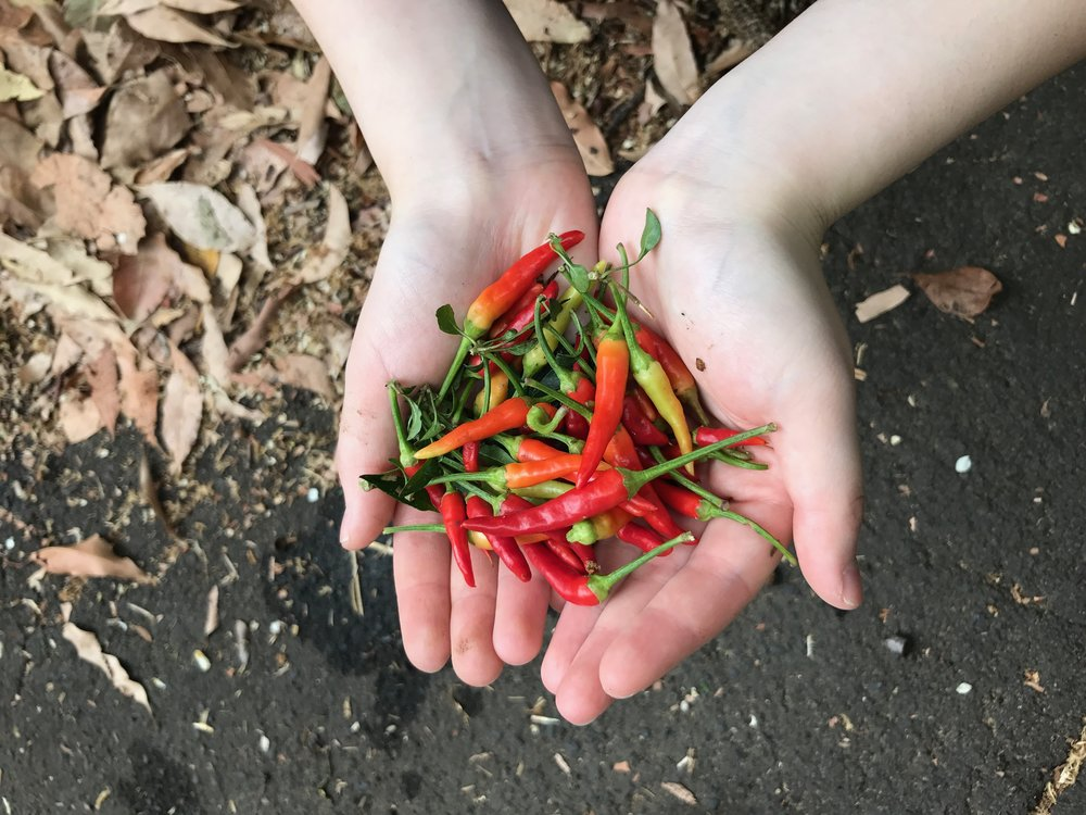 Harvesting Chili Peppers