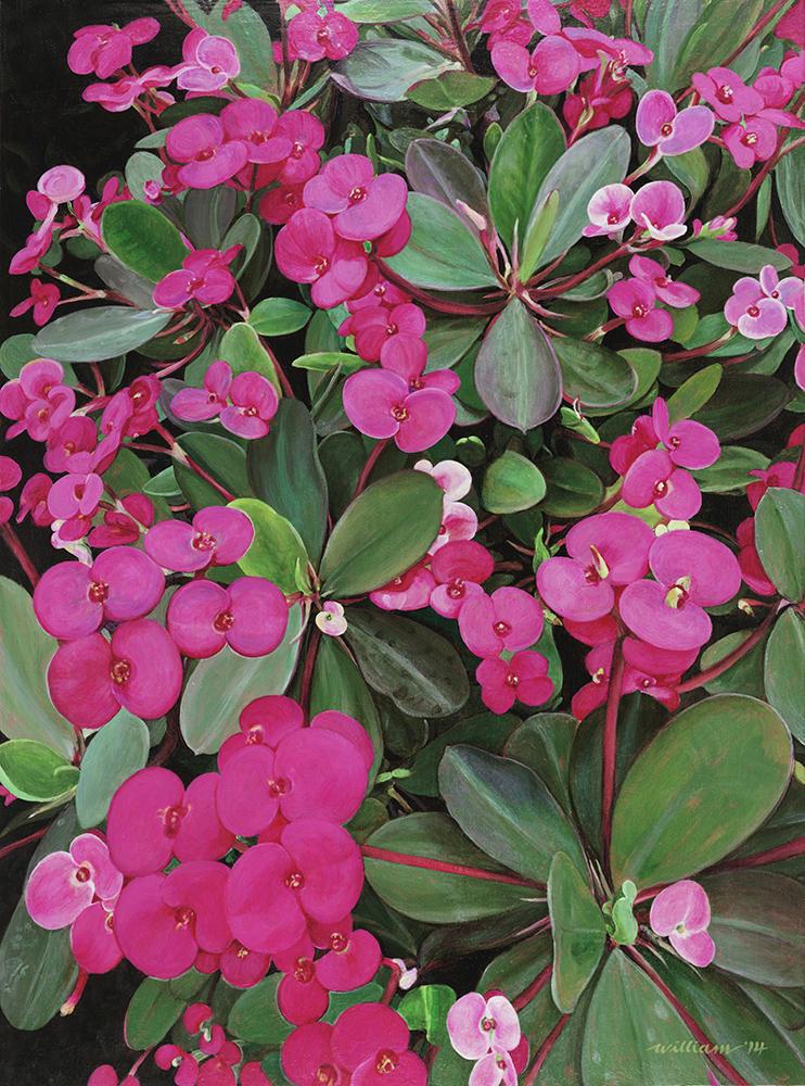 Euphorbia Milii (Spurge) the Christ Plant