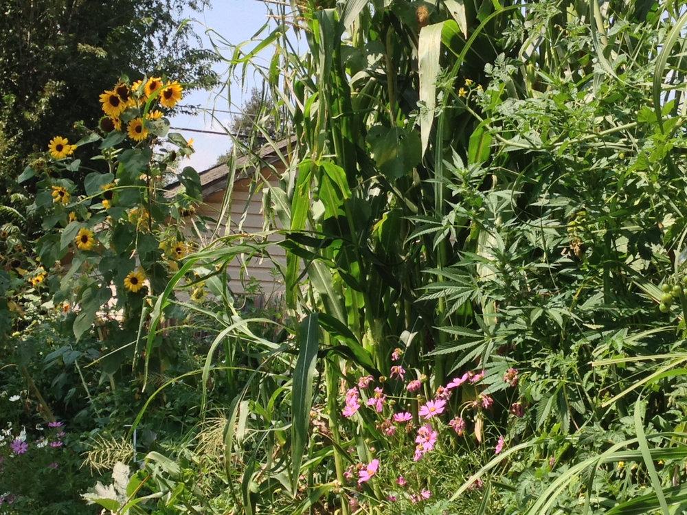 - Eric Rooney's lush garden (Denver, CO)