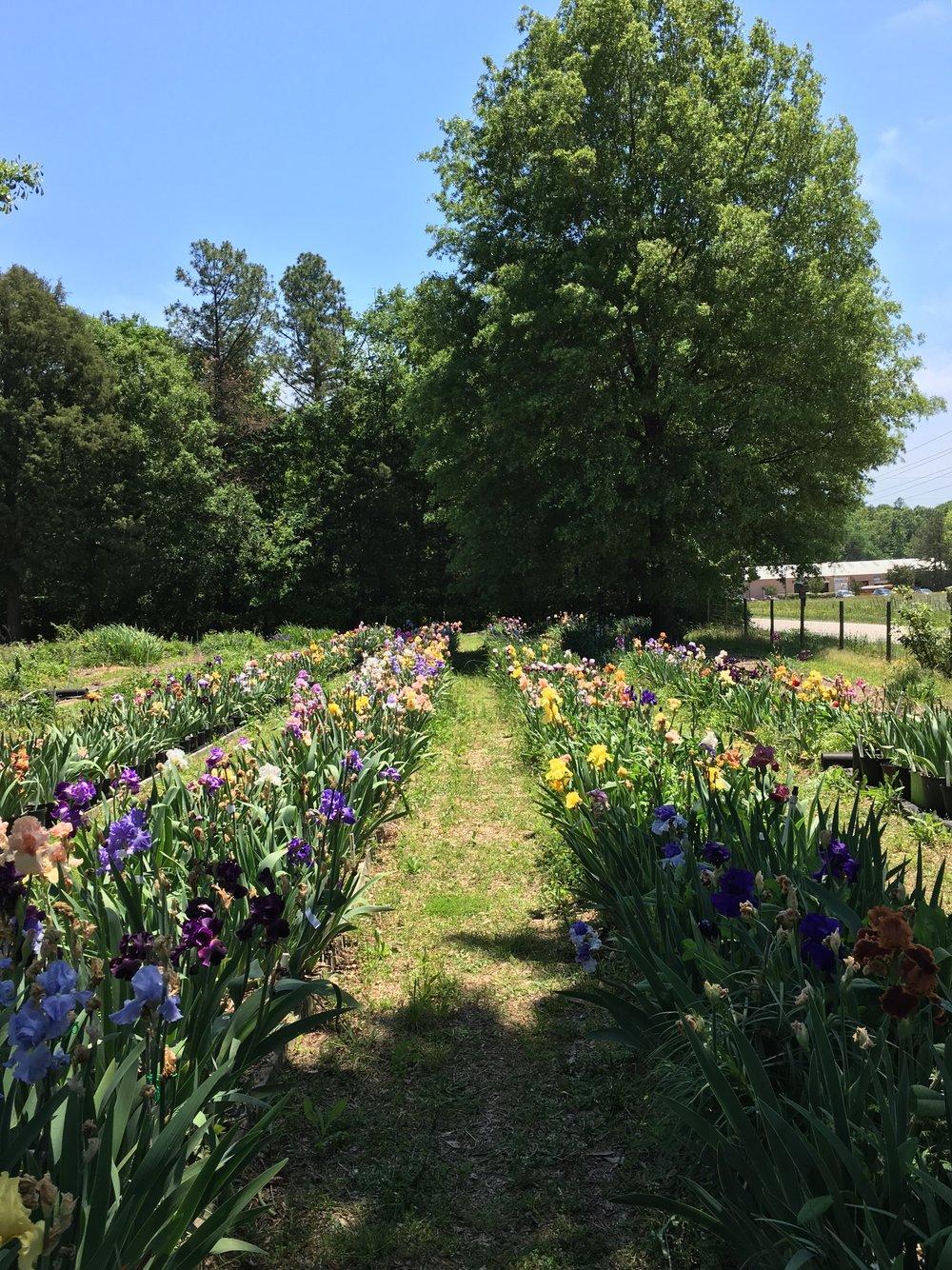 Annual Flower Fields at Heritage Fields Farm, South Carolina