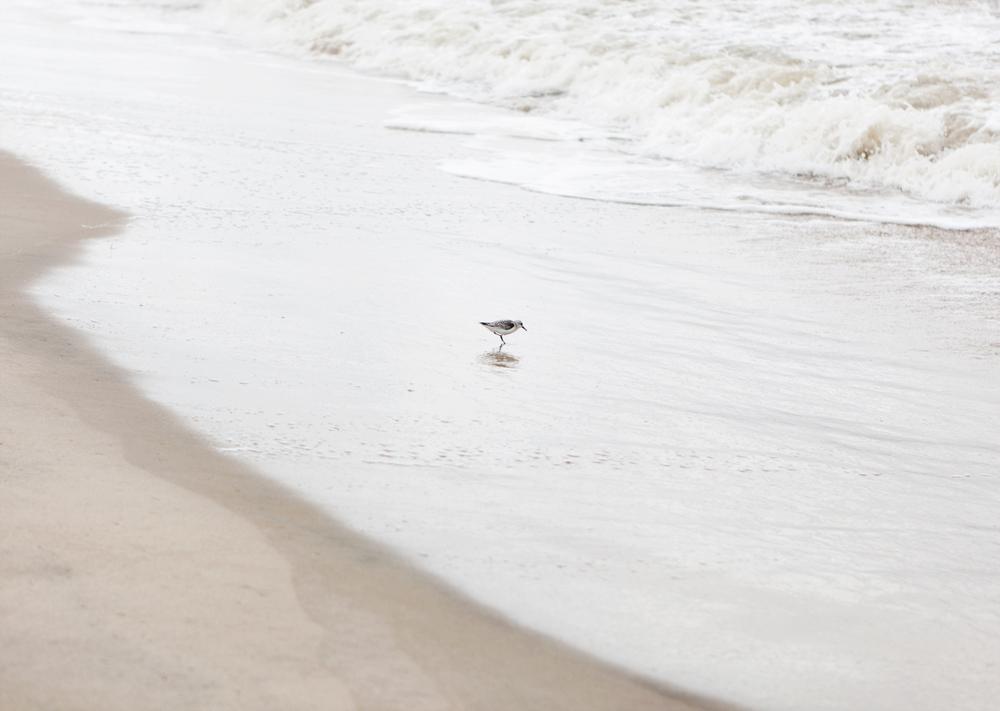 Outer-Banks-Plover.jpg