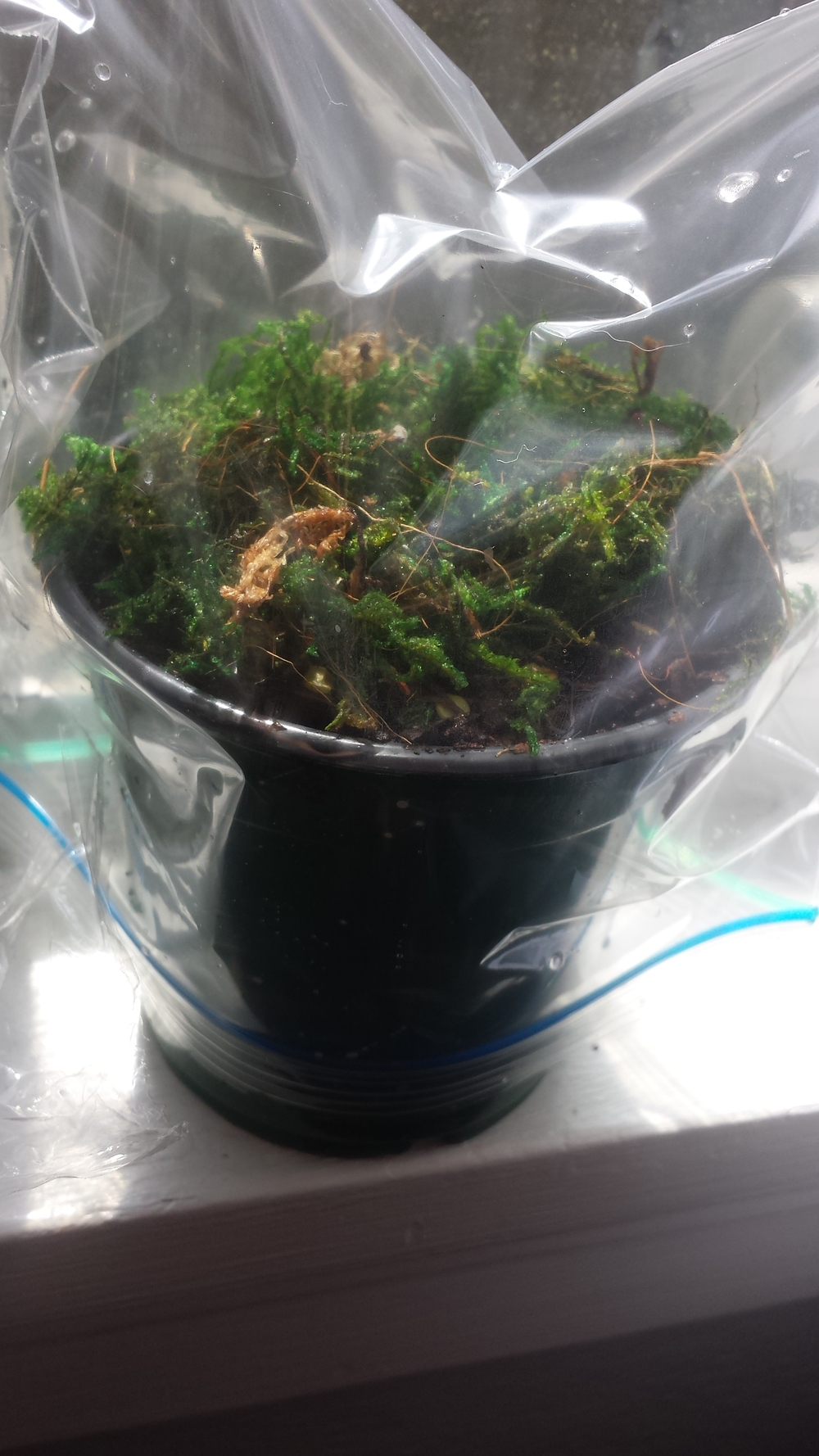 With sphagnum moss covered by a sandwich bag