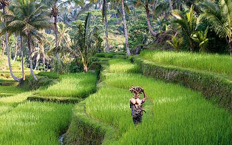 Bali rice fields 2.jpg