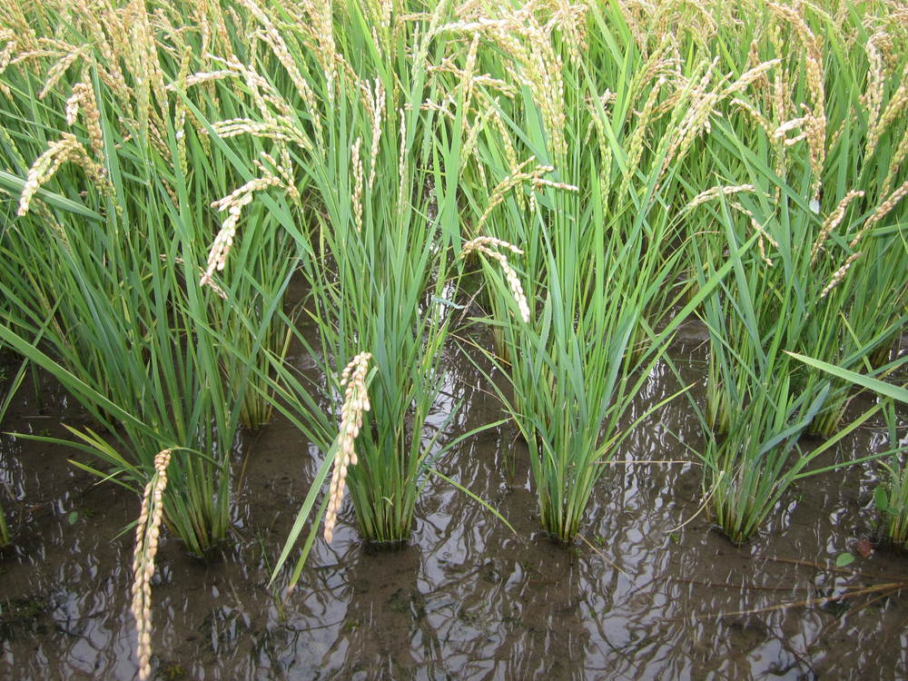 Brown Rice Gianforte Farm