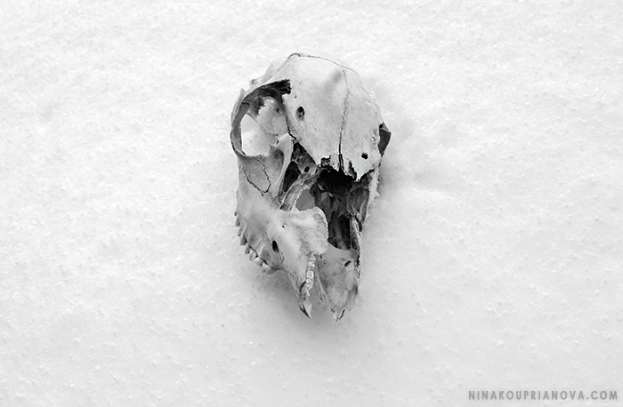 skull on snow bw cropped 700 px.jpg