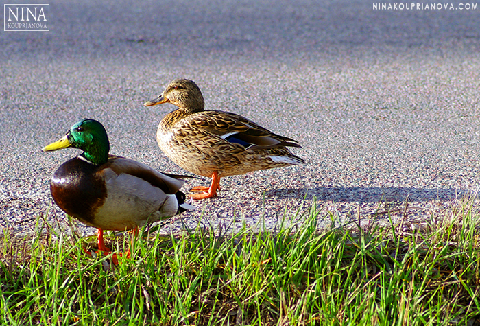 ducks in a row 700 px.jpg