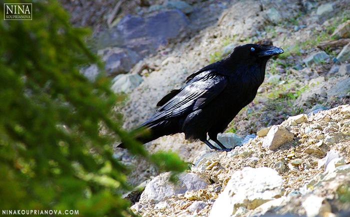 corvus on the rocks 700 px.jpg