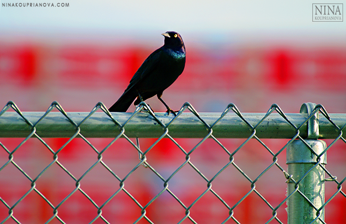 starling on red 700 px.jpg