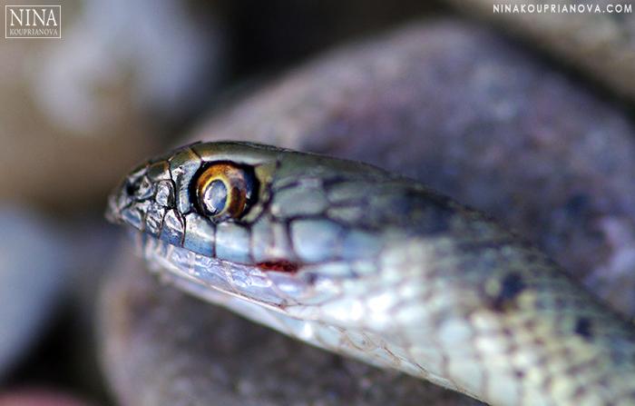 snake closeup cropped 700 px with logo.jpg