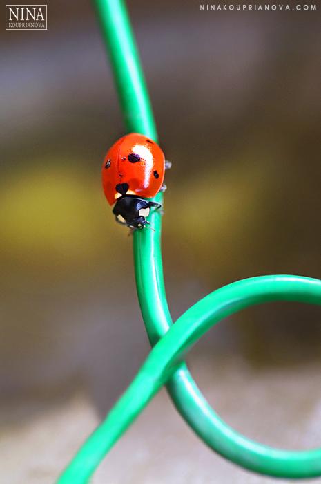 ladybug 2 700 px with logo.jpg
