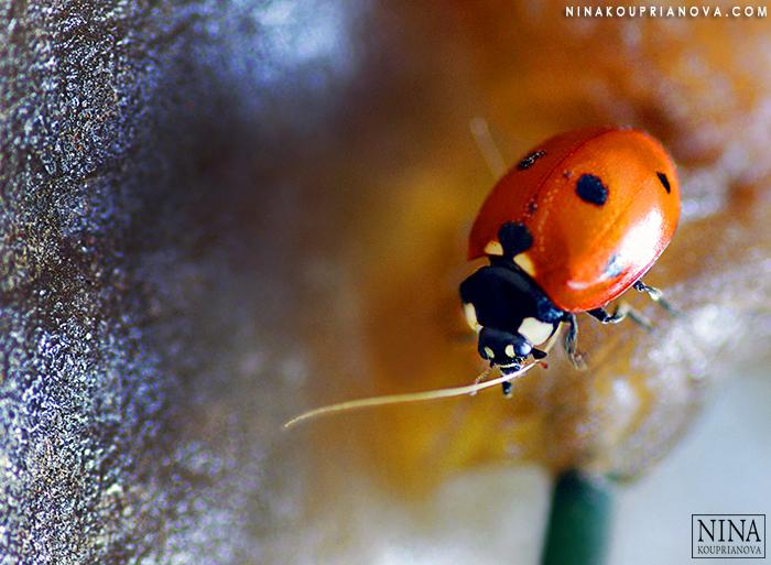 ladybug skull v2 700 px with url.jpg