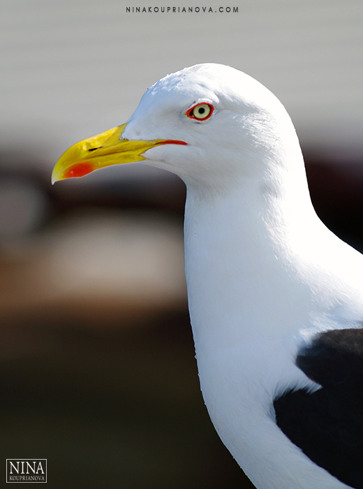 gull baltic vertical 700 px.jpg
