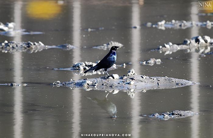 blackbird on water 700 px.jpg