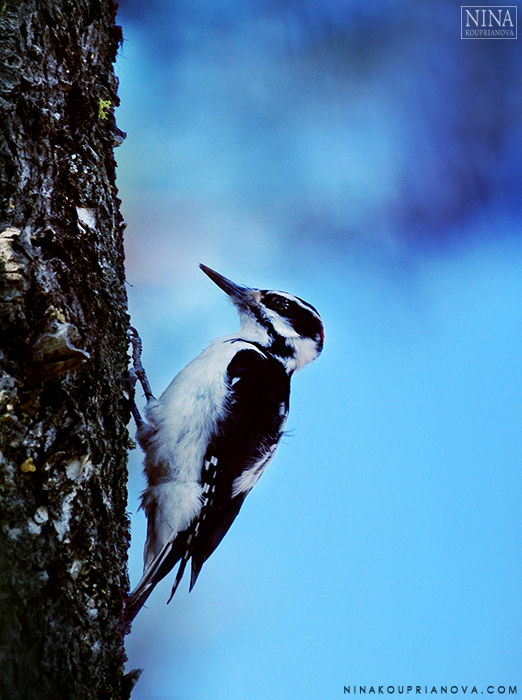 woodpecker vertical 700 px.jpg