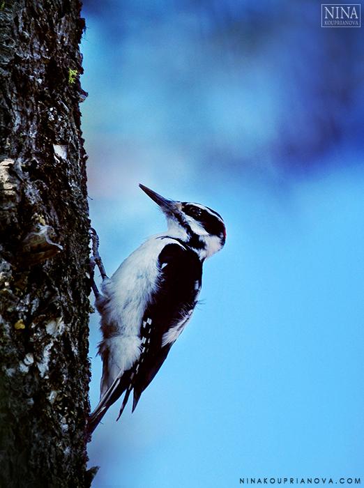 woodpecker vertical 700 px.jpg