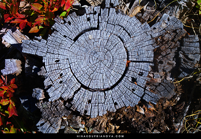 tree stump 700 px with url.jpg