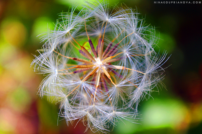 Tragopogon pratensis flower seed head 700 px with url.jpg