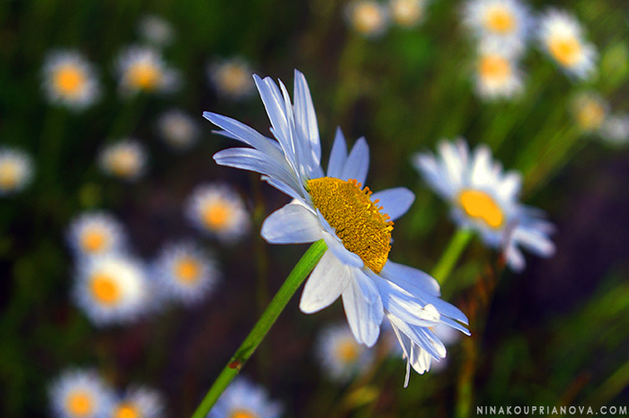 daisies field 1 horizontal 700 px with url.jpg