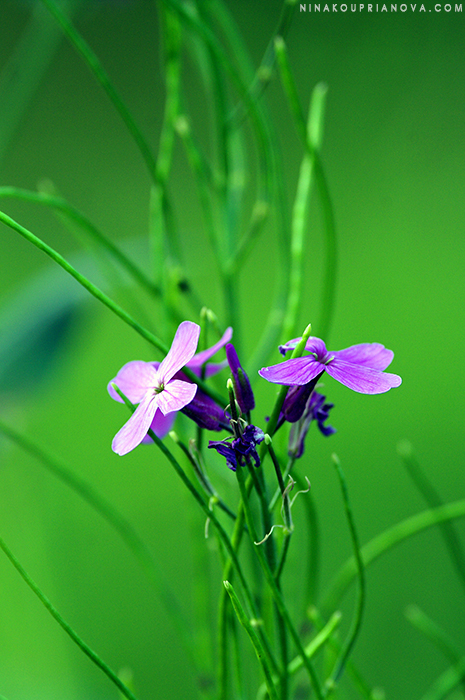 purple flowers 700 px with url.jpg