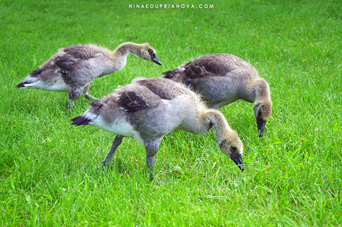 canada geese 700 px.jpg