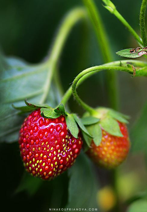 strawberries 1 cropped 700 px with url.jpg