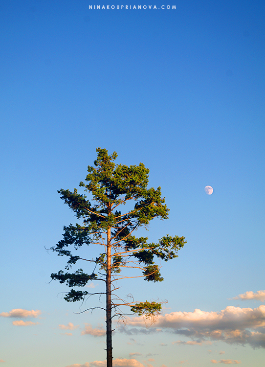 pine and moon 750 px with url.jpg
