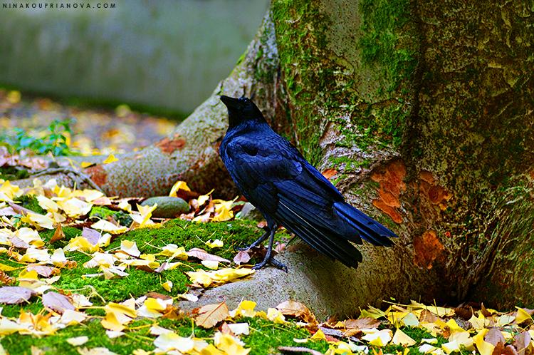crow and tree kanazawa 750 px with url.jpg