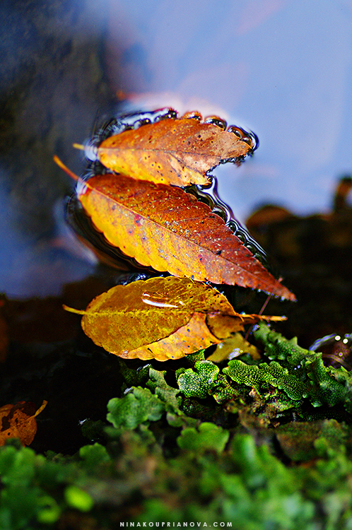 leaves in water 750 px with url.jpg