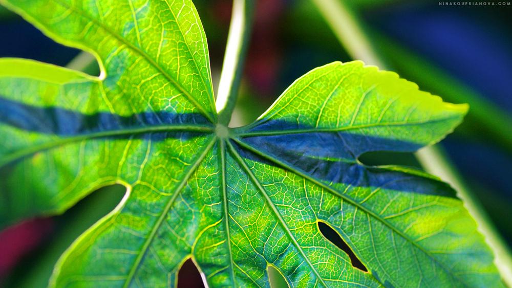 Sunlit leaf somewhere in Japan