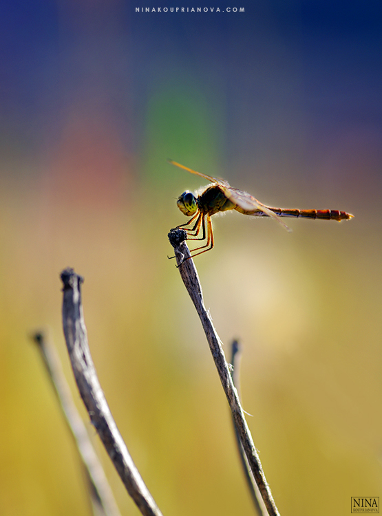 dragonfly 1 750 px url.jpg