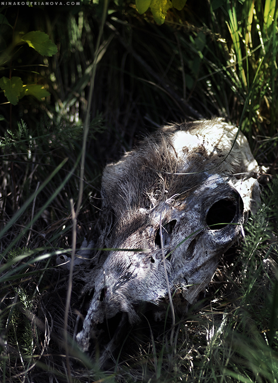 deer skull 4 desaturated 775px url.jpg