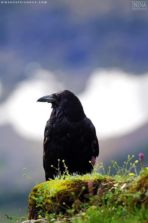 raven perched 777 px.jpg