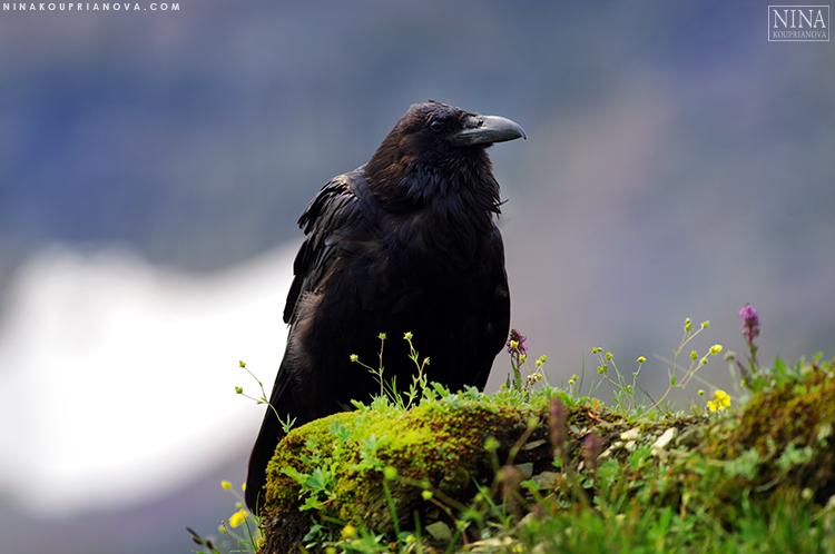 raven perched 2 750 px.jpg