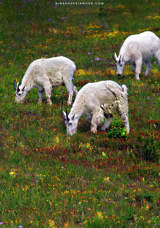 goats aligned 800 px url.jpg