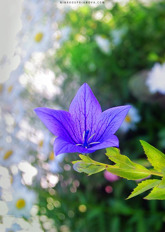 purple bell 800 px url.jpg