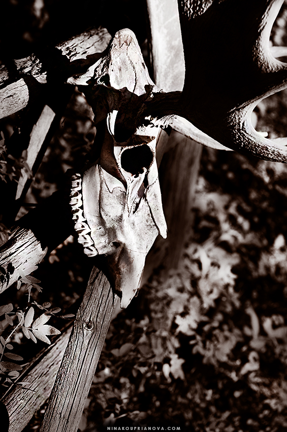 moose skull 850 px url.jpg