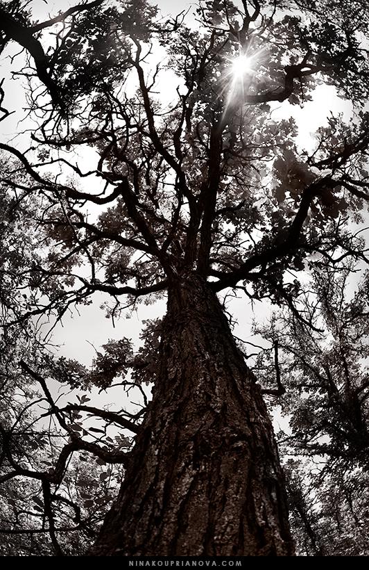 oak duotone 1 800 px url.jpg