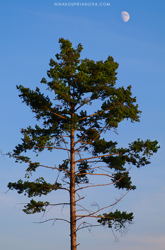 pine and moon 800 px url.jpg