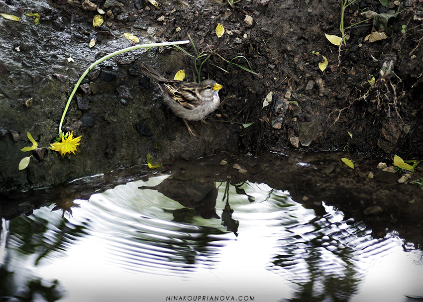 sparrow on water 850 px url.jpg