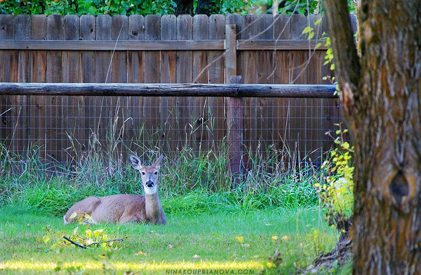 deer in yard 850 px url.jpg