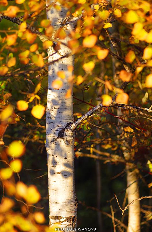 aspen autumn 1 800 px url.jpg
