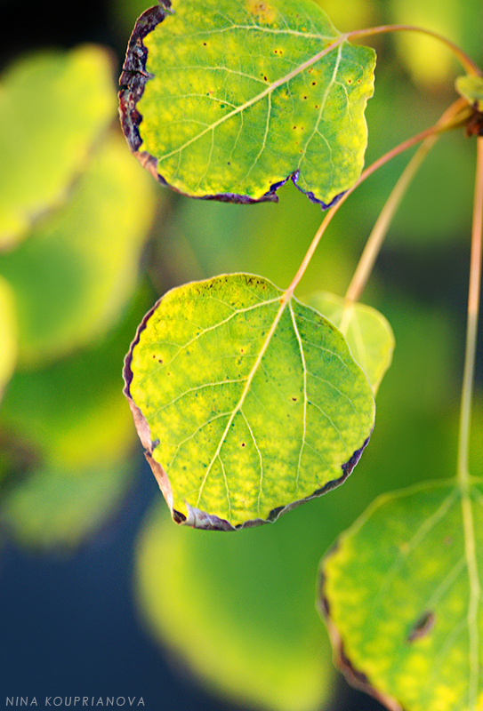 aspen leaves in sunset 800 px url.jpg