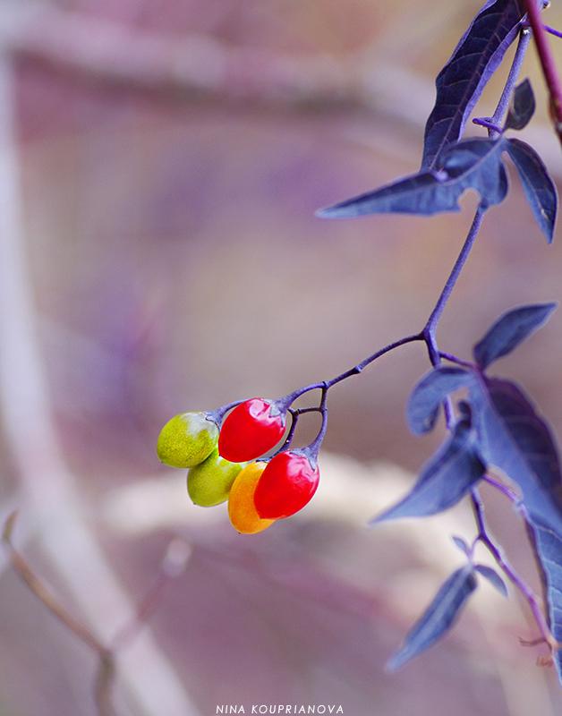 berries multicolor 800 px url.jpg